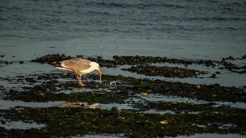 Seagull with mussle catch on beach with evening light photo