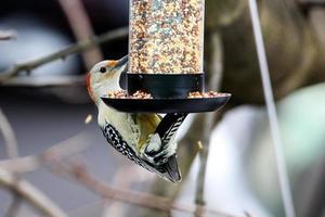 Pájaro carpintero de vientre amarillo en el comedero para pájaros foto