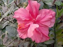 Flor de hibisco chino de color rosa en el árbol foto