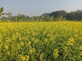 flor de mostaza de color amarillo firme foto