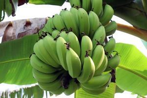 Racimo de plátano crudo sabroso y saludable foto