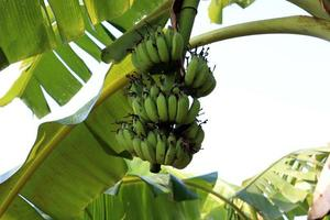 Racimo de banano crudo saludable en el árbol foto