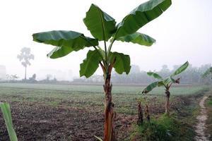 green colored banana tree stock photo