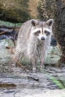 racoon wading in puddle looking for food photo