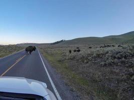 Bisonte americano pastando al lado de la carretera con coches que pasan foto