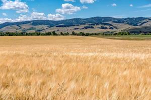 wheat field ready for harvest in montana mountains photo