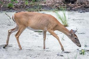 white tail deer wandering around thick forest near water photo