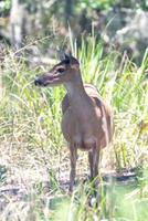 white tail doe deer in forest photo