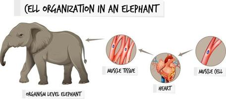 Diagram showing cell organization in a elephant vector