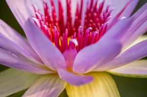f lotus pink watching the sparkling colors  bokeh background. photo