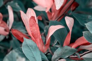 flores de magnolia rosa con fondo de hojas verdes foto