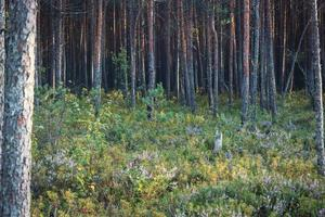Trees growing in forest heather herb carpet with only trunks visible photo