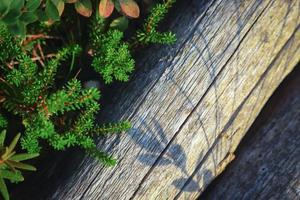 Crowberry grass and shadow on fallen dry tree trunk photo