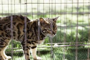 Iberian lynx in a captive cage photo
