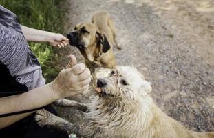 Alimentando a los perros con carne en la naturaleza. foto