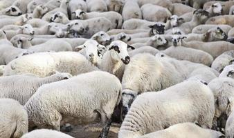 Sheep in the flock photo