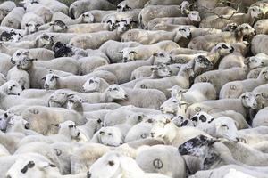 Flock of sheep farm photo