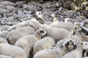Flock of sheep on the farm photo