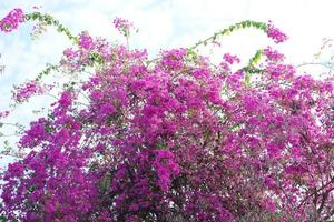 Pink Bougainvillea flower blooming with blue sky background photo