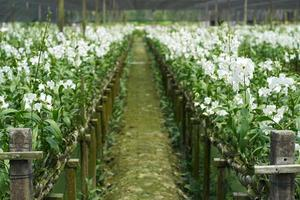 The White Rattan Orchids are blooming photo