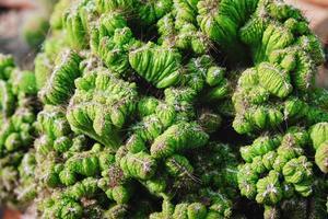 cereus peruvianus monstrose cactus foto