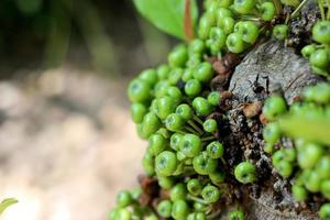 Green Fig fruit on tree in Thailand photo