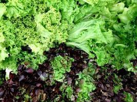 campo de lechuga de roble rojo y verde en la granja agrícola para el fondo. hojas de lechuga verde. macro de textura de foto. foto