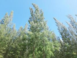 Coniferous forest. summer landscape for decoration. spruce forest, pinery, pine forest, Pine Tree. photo