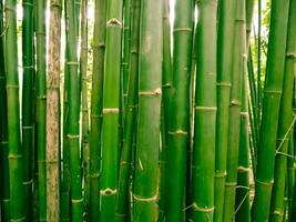 Bamboo forest in the morning, picturesque thickets of a bamboo in tropical rainforest, Thailand photo