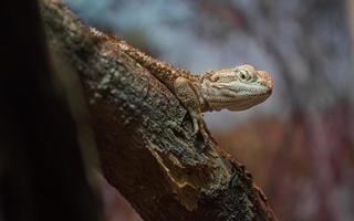 Rankin's dragon on branch photo