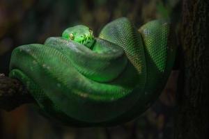 pitón de árbol verde foto