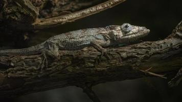 Brown anole on branch photo