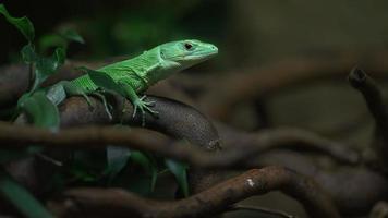 Green keel-bellied lizard photo