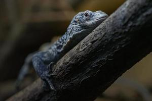 Blue Speckled Tree Monitor photo