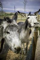 dos burros graciosos en una granja foto