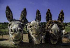 Smiling farm donkeys photo
