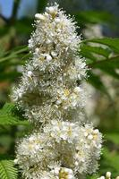 Inflorescence of small white flowers of ornamental rowan photo