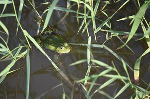 Green frog among green grasses photo