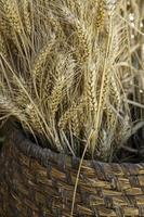 canasta de mimbre con trigo seco foto