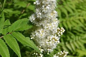 Inflorescence of white flowers of ornamental rowan among the green leaves photo