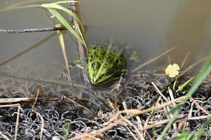 Green dotted frog by the shore of the pond photo