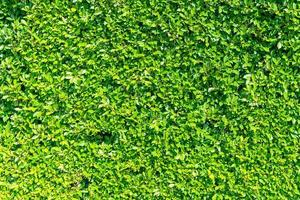 Beautiful green tree wall texture with copy space for background photo