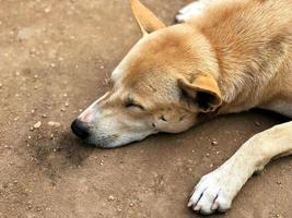 A cute brown dog sleeping on the dirty ground photo