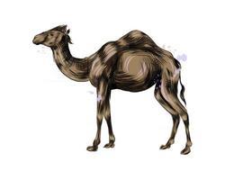 camello árabe de un toque de acuarela, dibujo coloreado, realista. ilustración vectorial de pinturas vector
