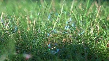 zerbrechliche Blasen auf Gras mit Morgenlicht video