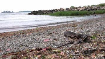 Crabe en fer à cheval mort sur la plage avec les vagues de l'océan derrière video