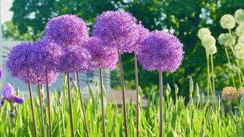 Nahaufnahme von Alliumblüten mit rundem Kopf video