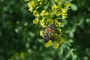 on yellowish rhyme flowers the bee collects honey photo