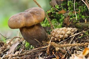 Vista detallada de un joven hongo comestible marrón hollín milkcap en el musgo foto