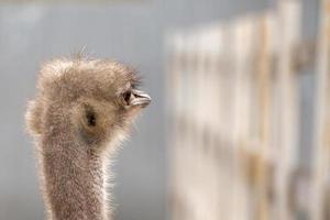 Ostrich farm, a bird close up photo